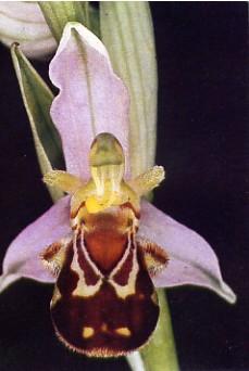 orchideabeille1.jpg