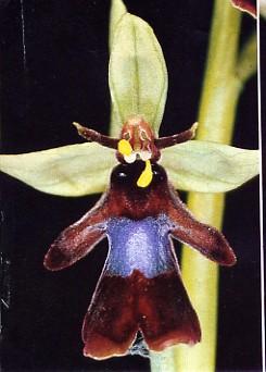 orchidemouche1.jpg