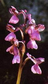 orchisbouffon1.jpg