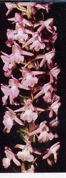 orchismoustique1.jpg