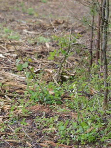 3 cephal et 2 orchis dble feuille