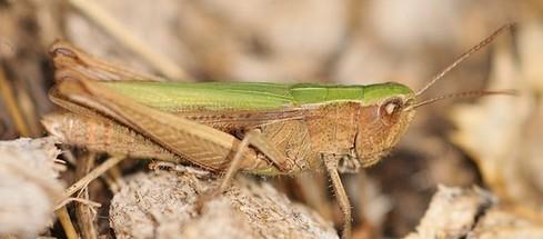 criquet-vert-echine