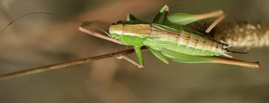 decticelle-bicolore