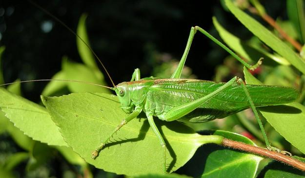 grande-sauterelle-verte